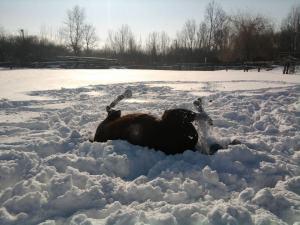 Suri se kupa u snijegu